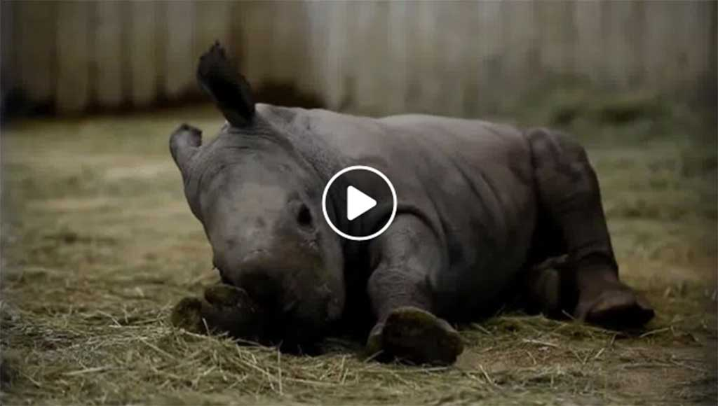 rhinoceros-tigres-blancs-metz-today