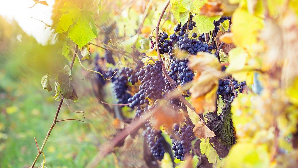vin-sans-sulfites-vignes-metz-today