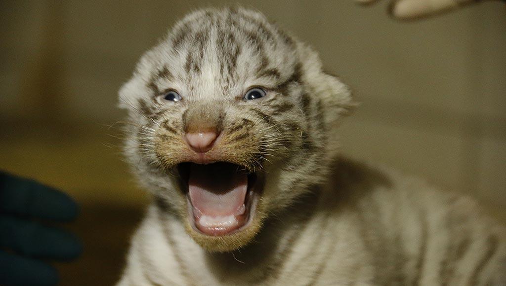 tigres-blancs-zoo-metz-today